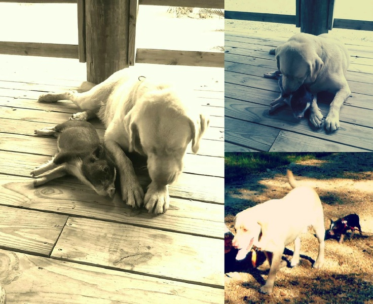my baby teacup potbelly pig and yellow lab... bffs <3