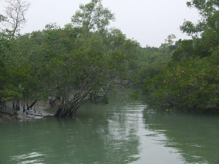 The Mangroves in the Sunderbans..