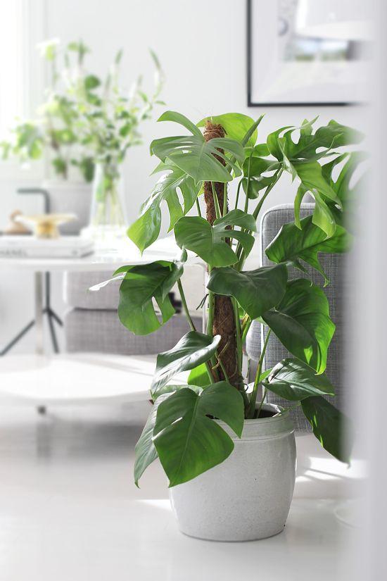 Monstera, green plants