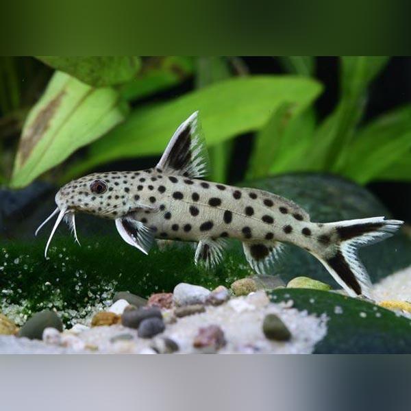 Dwarf Petricola Catfish Aquarium Catfish Aquarium Fish Fish