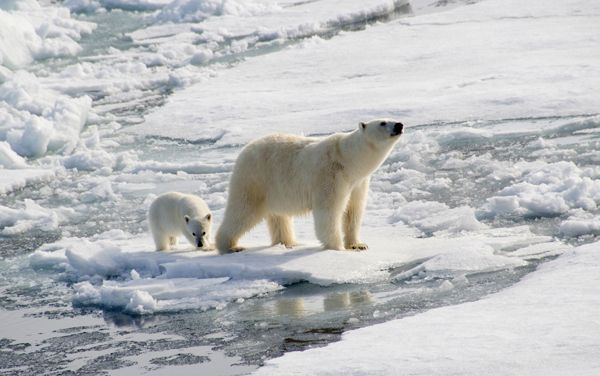 #Antarctica - Polar Bear with Cub.