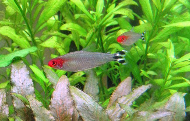 De 25 populairste idee n over viskes op pinterest for Freshwater schooling fish