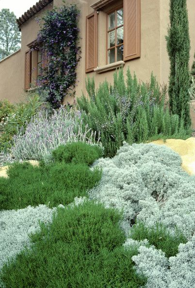Santolina, Rosemary, Lavender in a Mediterranean style garden