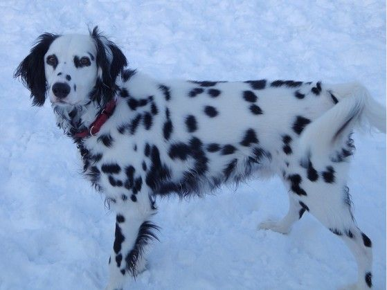 long haired dalmatian