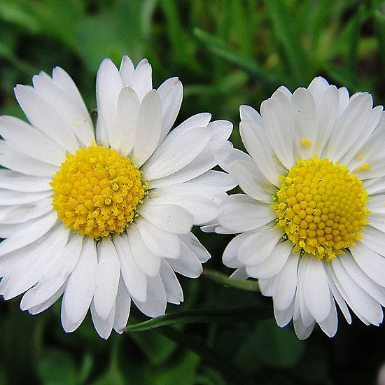 Two white daisies  #flowers, #spring #cute #daisy #daisies #greetingcards #fotosbykarin #redbubble #photography