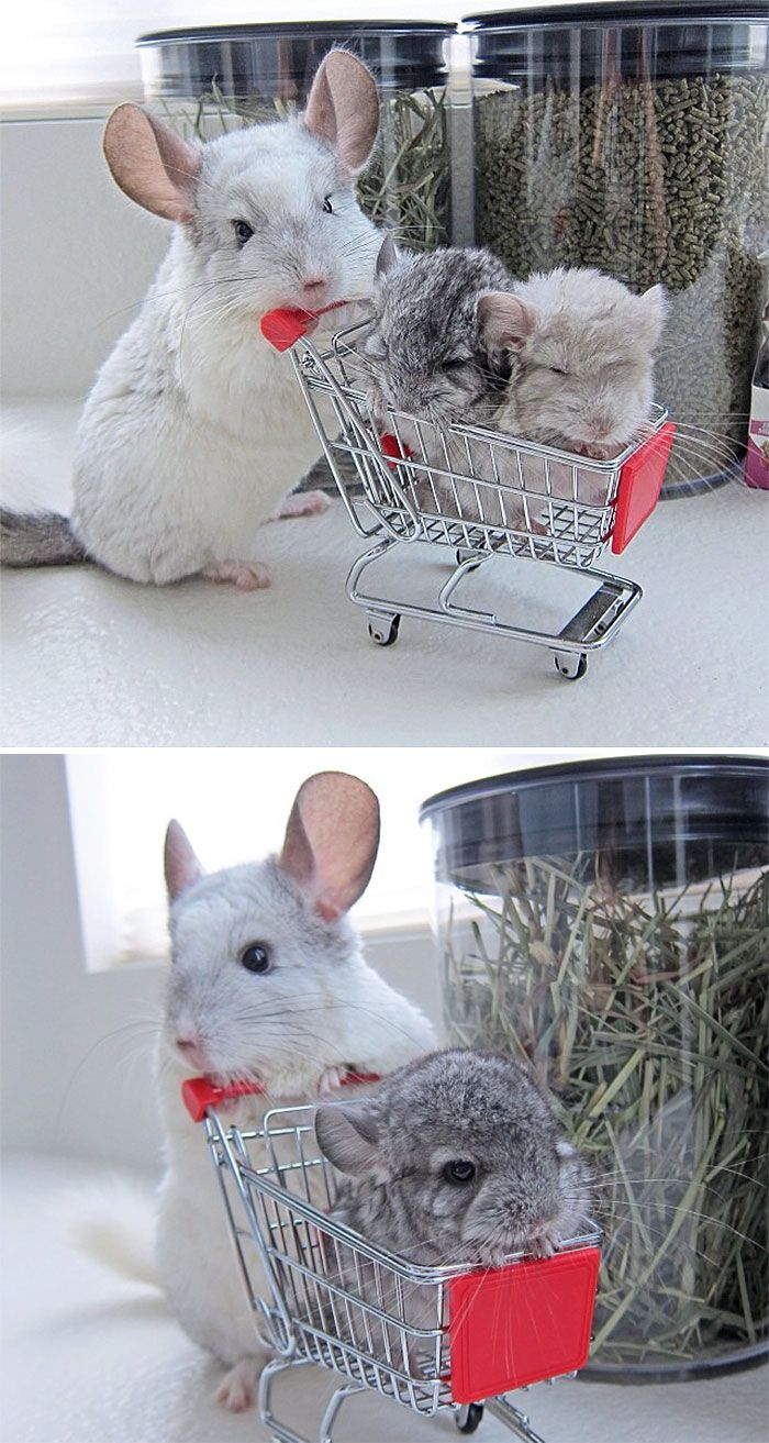 Baby Chinchillas.