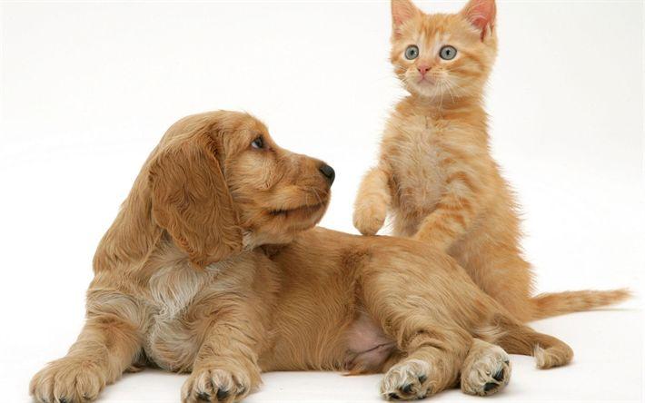 Descargar fondos de pantalla Cocker spaniel inglés, perrito, gatito, la amistad, los conceptos, el perro y el gato, lindo animales mascotas