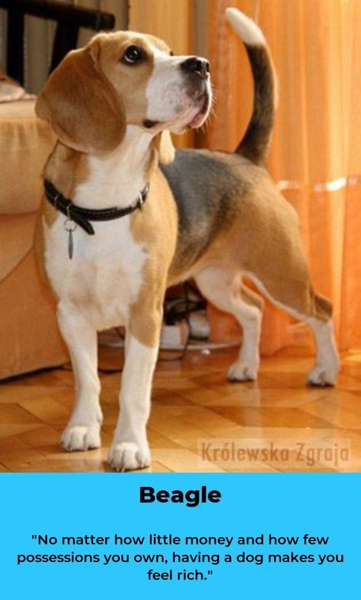Beagle Dog Beagleclub Beagles Colors Beagle Colors Dogs
