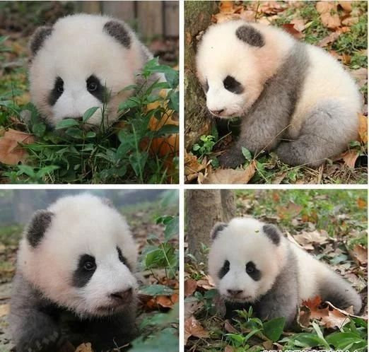 The not so black baby panda became popular in 2016