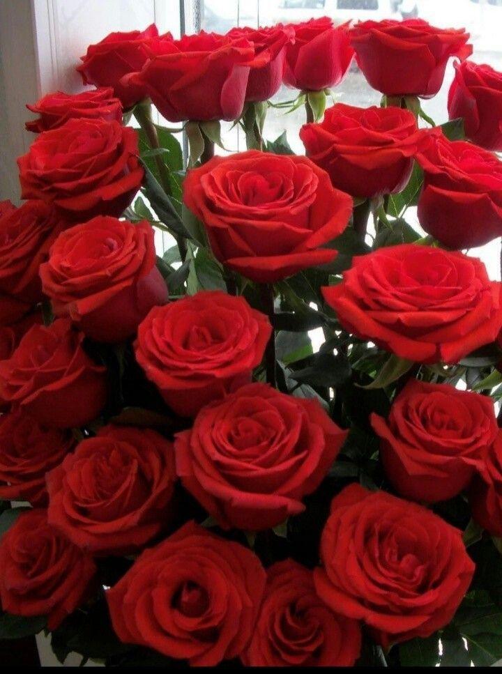 Rosas rojas hermosas