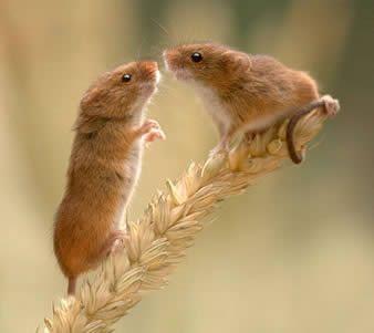 Micromys minutus Harvest mouse