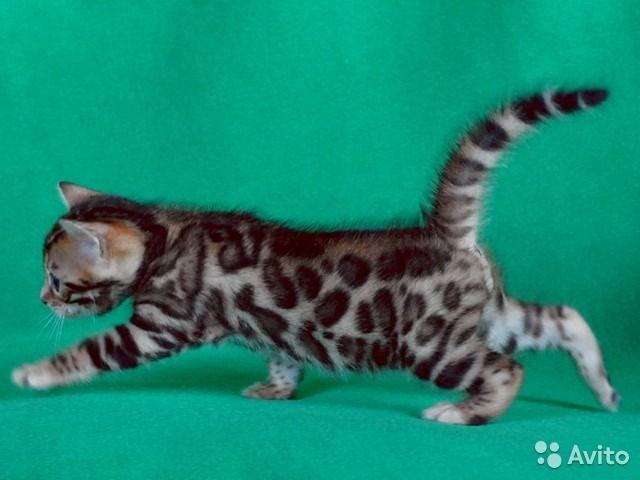 Бенгальские котята на выбор - мальчики и девочки — фотография №7