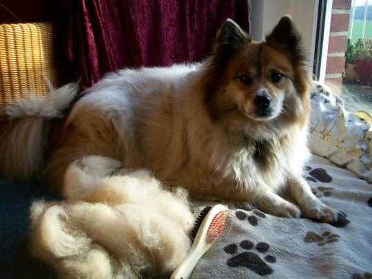 ... das beste Schäfchen der Welt ... bellt und beißt nicht und ist ganz kuschelig ;-)) und liefert jede Menge Hundewolle......