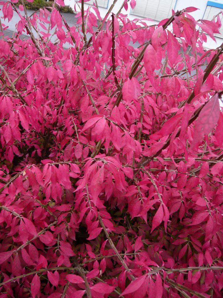 Euonymus alatus 'Compactus' / Niedriger Korkspindelstrauch – auch als niedriger Strauch (bis zu 1m hoch) sind die Farben noch beeindruckend. Auch gut als Kübelpflanze für Balkon oder Dachterrasse geeignet.