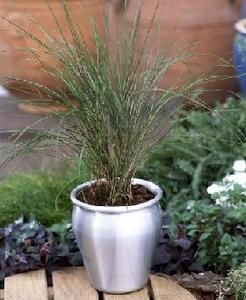 Pase Seeds - Ornamental Grass Seed - STIPA ARUNDINACEA PHEASANT TAILS SEEDS, $3.49 (http://www.paseseeds.com/ornamental-grass-seed-stipa-arundinacea-pheasant-tails-seeds/)