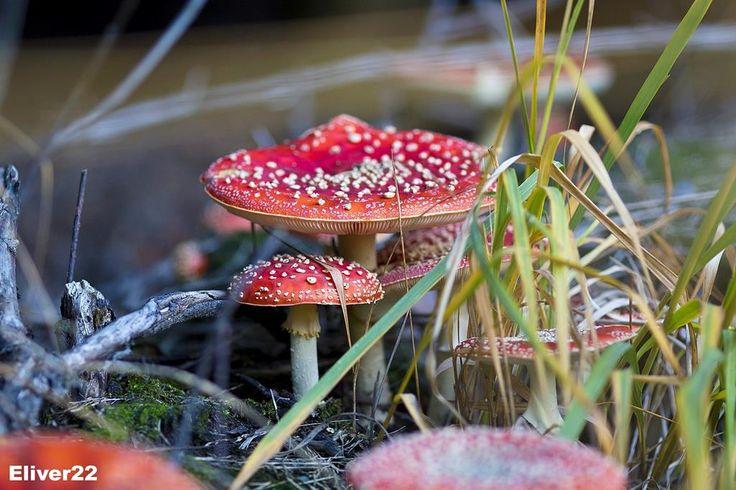Amanita muscaria fairy garden