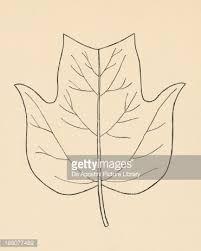 Výsledek obrázku pro Liriodendron tulipifera leaf