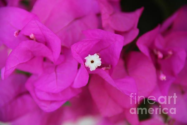 Pink flower in Spain in Summer time- Photography