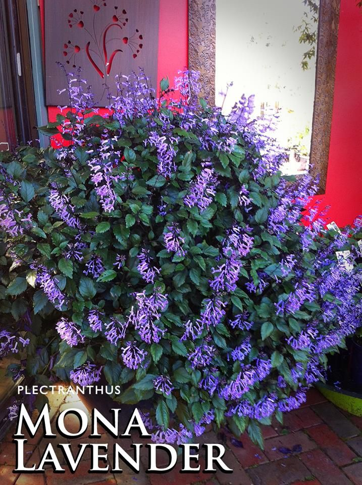Plectranthus 'Mona Lavender'? The perfect solution to a dull and shady corner of the garden.