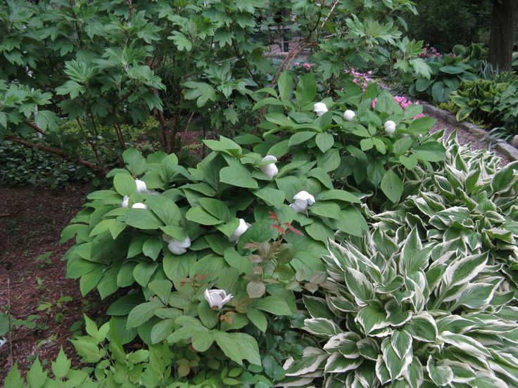 Chinese Woodland Peony and variegated hosta Plants