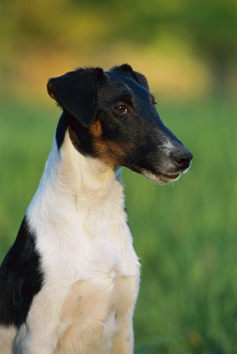 Smooth Fox Terrier (Canis familiaris) portrait