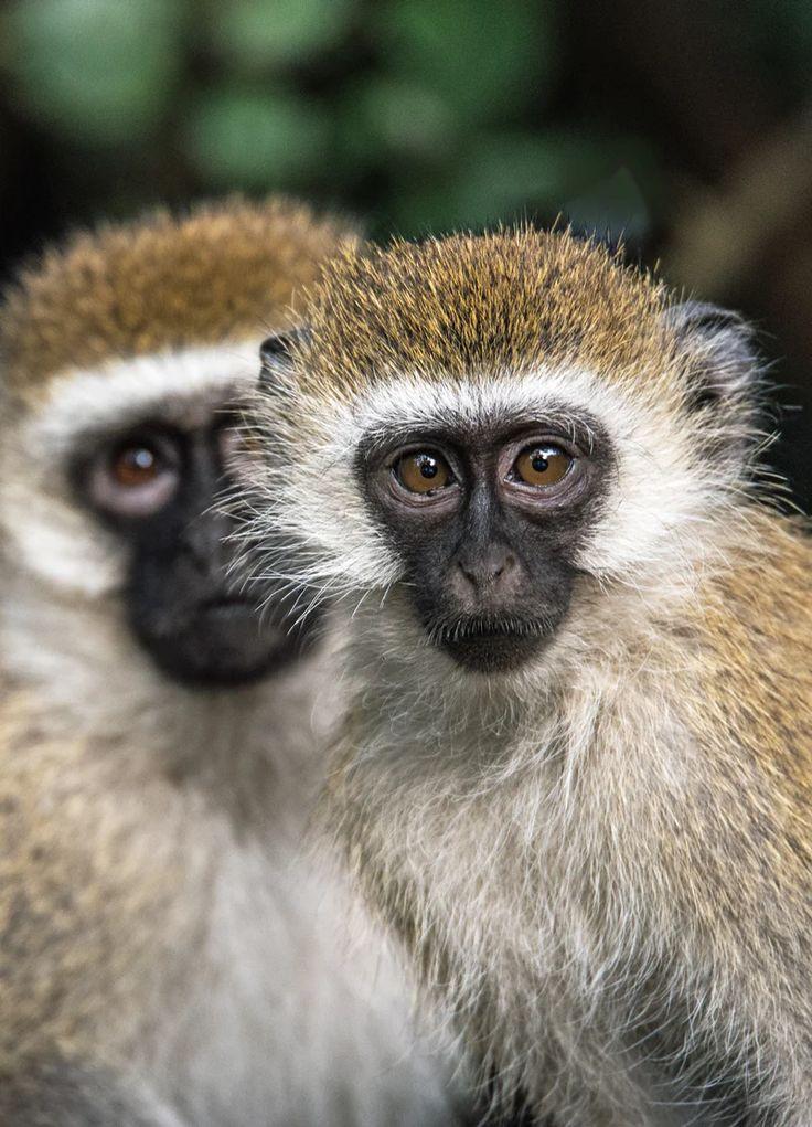 Vervet Monkey Pictures Download Free Images on Unsplash