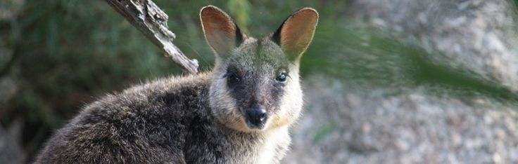 Hunting was major contributor to the early decline in numbers of the Brush-tailed Rock Wallaby. Between 1884 and 1914 bounties were paid on over half a million rock-wallabies in New South Wales. These days feral predators and loss of habitat are the main threats to the survival of these beautiful animals.