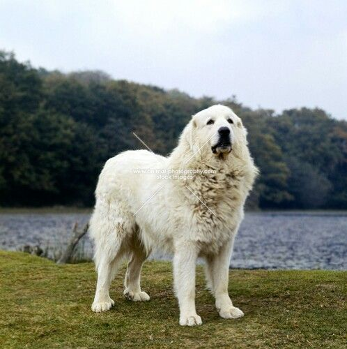 Pyrenean Mountain Dog | Dogs and Puppies | Pinterest