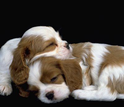 Cavalier King Charles Spaniels - makes me want another puppy to keep my darling company!