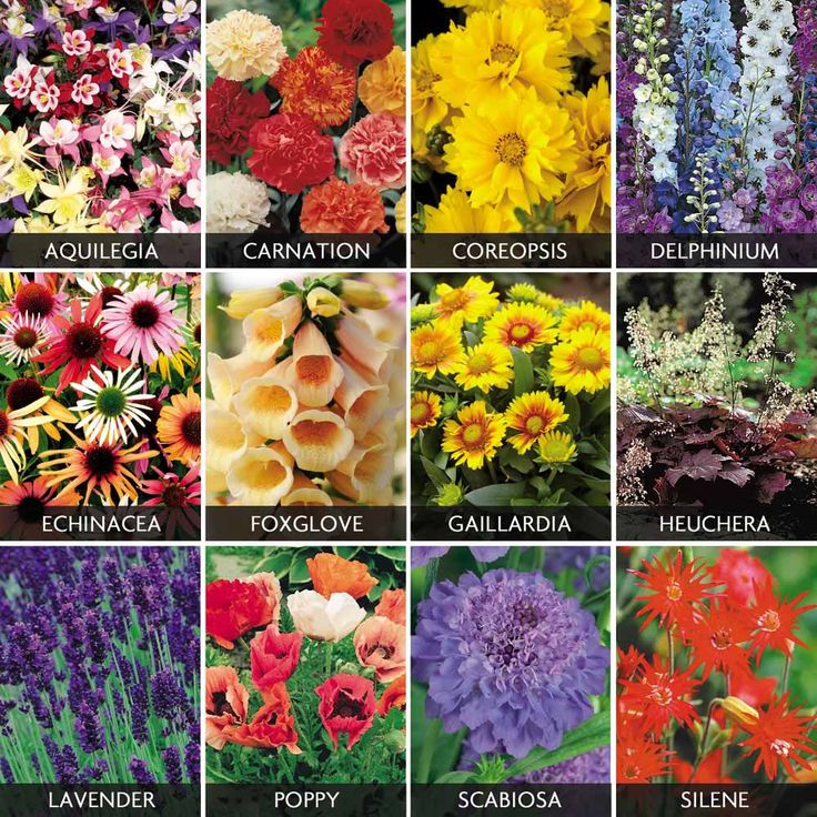 Spectacular perennials collection cottage garden plants for Cottage garden plants
