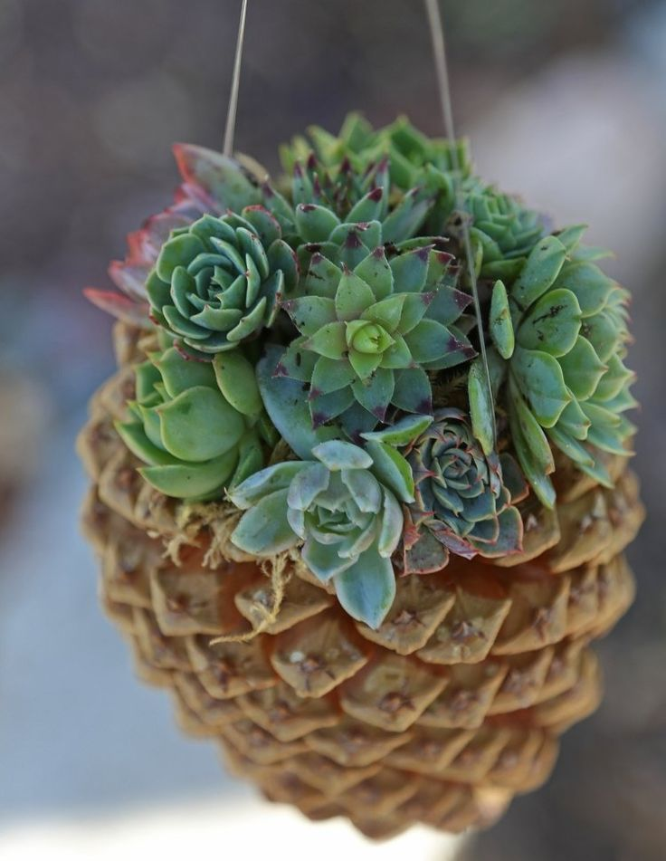 Kleine Sukkulenten können wunderbar in Kiefernzapfen gepflanzt und aufgehangen werden