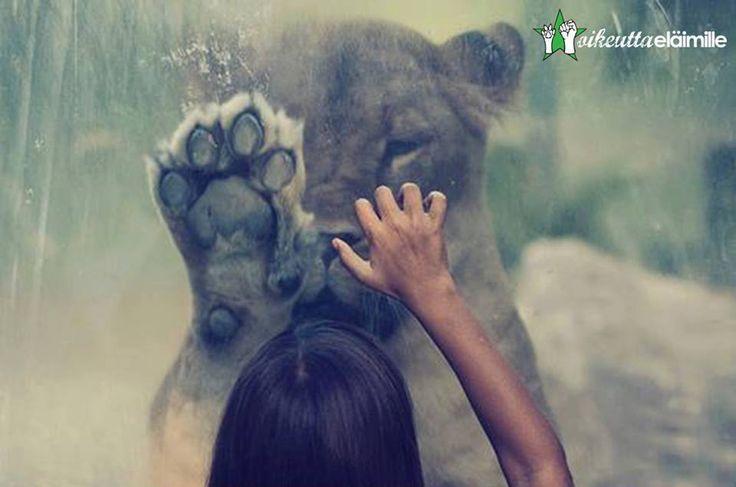 Ihmisen ja villieläinten välisen kohtaamisen tulee tapahtua vapaaehtoisesti ja eläinten ehdoilla, ei keräämällä eläimiä kokoelmaksi näyttelyesineitä. Eläintarhat eivät opeta muiden lajien kunnioitusta vaan yksipuolista eläinsuhdetta, joka mitätöi vapauden merkityksen.  Lue lisää: www.oikeuttaelaimille.net/muu-elainten-kaytto/tarkastelussa-elaintarhaus
