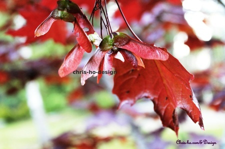 Blodlønn - foto A4 str.