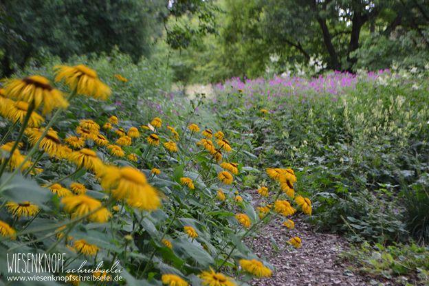 Echter Alant (Inula helenium) Wo: Botanischer Garten Augsburg