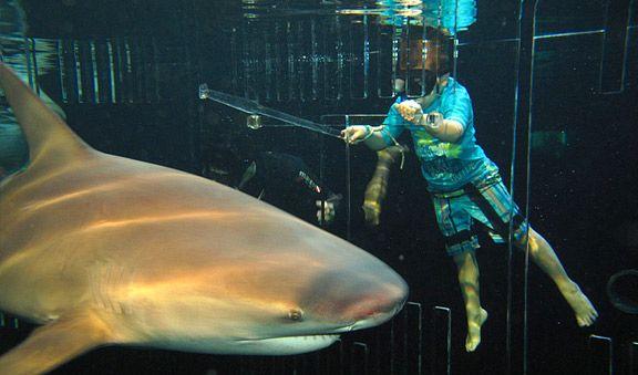Encuentro con Tiburones  Atrévete a encontrarte con los estás impresionantes criaturas del mar!. El encuentro se realiza dentro de un gran tiburonario con más de 700 mil litros de agua que contiene diferentes especies de tiburones como son: tiburón limón, puntas negras, aleta de cartón, gata y el espectacular tiburón toro.