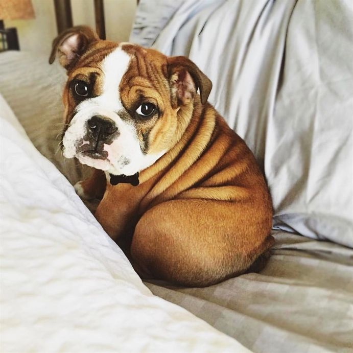 What Do You Mean Bulldog Has To Get Out Of Bed Today Cute Animal