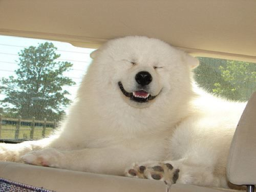 Big White Dog: Polar Bears, Happy Face, Smile Animal, Smile Dogs, Cars Riding, Funny Animal, Happy Dogs, So Funny, Happy Puppies