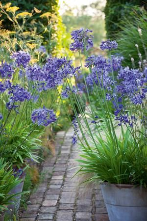 Pots of 'Navy Blue' Agapanthus beside brick path