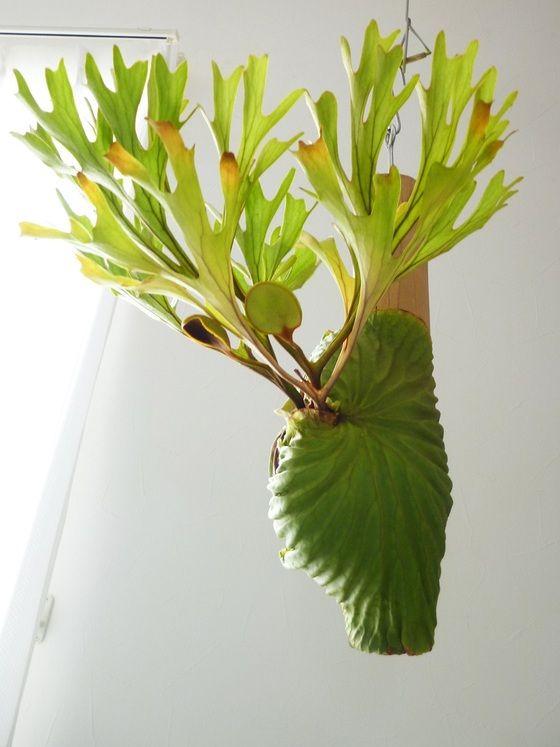 Platycerium ridleyi                                                                                                                                                     More