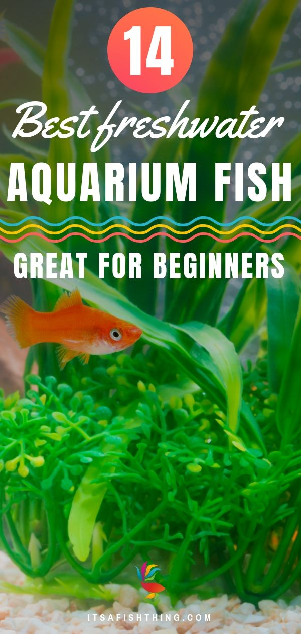 14 Best Freshwater Aquarium Fish Great For Beginners Easy To Keep