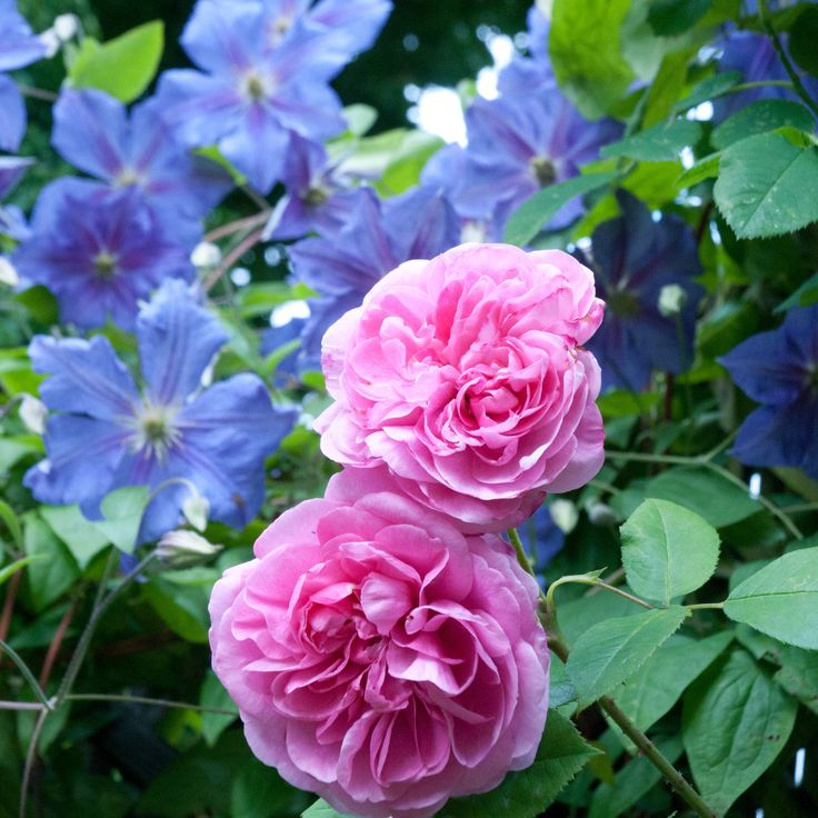 Rosa Gertrude Jekyll (another delicious scent) with Clematis Perle D'Azur.