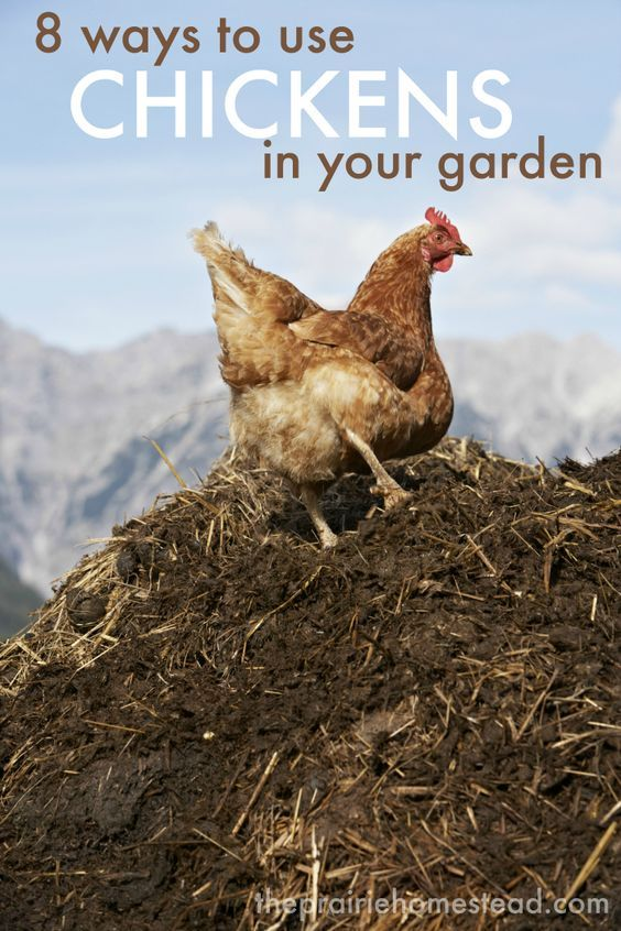 how to use chickens in the garden-- love this list of practical ideas that will…