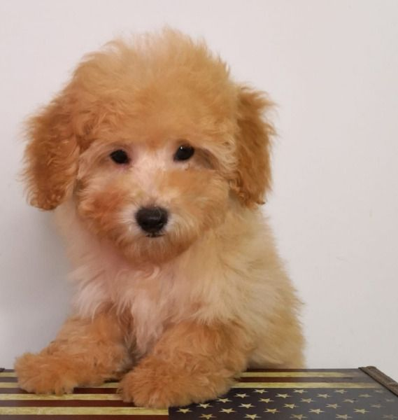 Trio Maltipoo Puppiesdog Info Source Local Hdb Approved Yes
