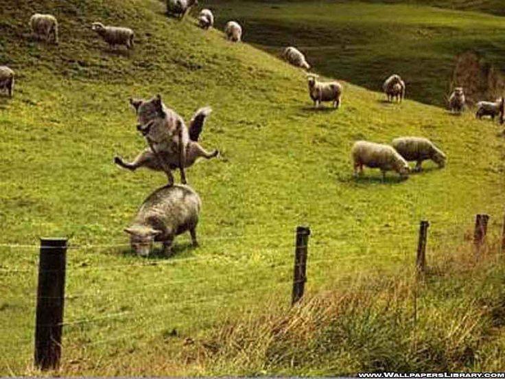 Lupul cioban la oi