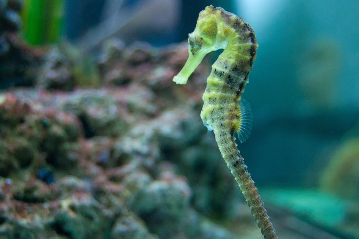 Introducing Seahorses To Your Saltwater Aquarium Saltwater Aquarium Saltwater Fish Tanks Saltwater Aquarium Fish