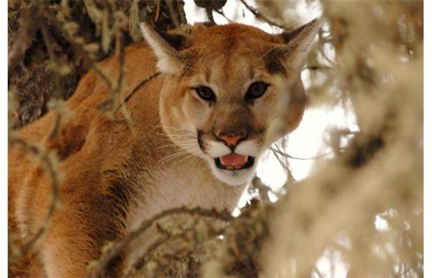 In case you heard the story about the cougar in Okotoks. #urbanlegend #okotoks #cougar