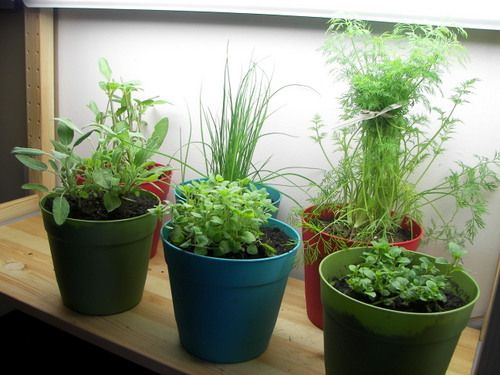 how to cut herbs to grow indoors