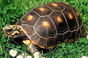 угольная черепаха, красноногая черепаха (Chelonoidis carbonaria, Geochelone carbonaria), фото, фотография