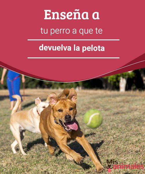 Enseña a tu perro a que te devuelva la pelota Si quieres que tu perro devuelva la pelota, aprende estos trucos y pasos que te enseñamos en Mis Animales para lograrlo en unas pocas semanas. #enseñanza #pelota #trucos #adiestramiento