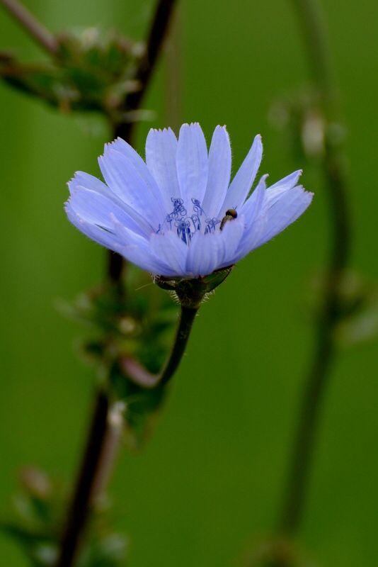 Lila bloem , Chicorei